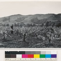 1 mi. E. Calpella, along Ukiah-Lakeport road. Vineyards-illustrating one segregation of cultivated ...