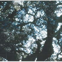 1975 Slide Show: Cultural Landmarks of South Pasadena: Clokey Oak (Hybrid Oak) ...