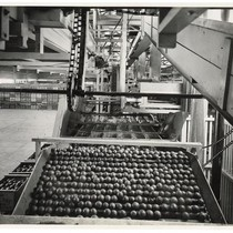 Oranges in the water bath at a California Fruit Growers Exchange packing ...