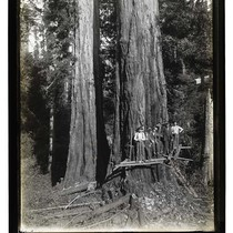 Among the Redwoods in California [Logging in Vance Woods/unknown]
