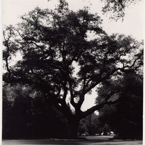 Large Oak Tree Growing on Chelten Way
