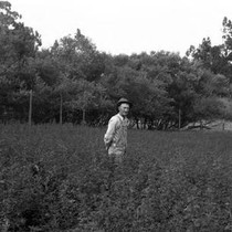 A.L. Cunninghame of Fallon, Marin County, among his peas and vetch planted ...
