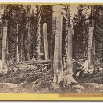 Stumps cut by Donner Party in 1846, 133