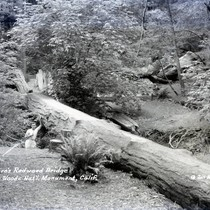 Foot bridge made from a redwood tree in Muir Woods, circa 1935 ...