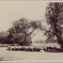 Cattle Seeking Noon Shade, ca. 1905