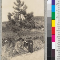 A 12-year old Coulter Pine, Pinus coulteri, in the plantation at Orange ...