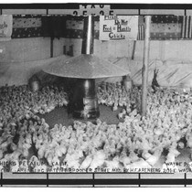 750 chicks, Petaluma, California : day scene; Arenberg Patent Brooder Store, Mfd. ...