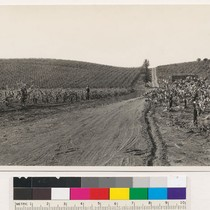 1 mi. E of Calpella, along Ukiah-Lakeport road. Vineyards-illustrating one segregation of ...