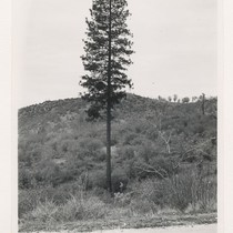 1 mi. N. of Jones Bar. Large immature (#2) conifer timber tree ...
