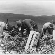 Centerville, Calif.--Japanese field laborers packing cauliflower in field on large-scale ranch owned ...