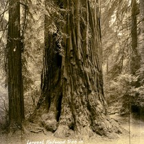 Base of redwood tree in Muir Woods, 1941 [postcard negative]