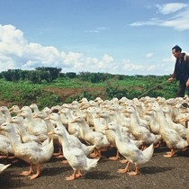 Duck herder, Lam Dong Province