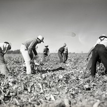 Eight Mexican workers topping sugar beets in Clarksburg, California