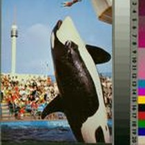"""Killer Whale Leap, Marineland of the Pacific"""