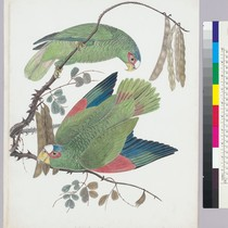 Amazona albifrons. White-fronted Parrot