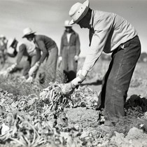 Five Mexican workers harvesting sugar beets
