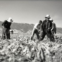 Four Mexican workers harvesting sugar beets, one worker looking at the camera