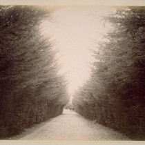 Avenue of Monterey Cypress, Leading to Residence of Colonel Rogers