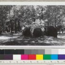 The 14-ft. stump of Sequoia gigantea at the north side of clearing ...