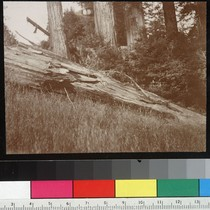 Another in same group. [Sequoia damaged in earthquake, Fort Ross, Sonoma County.]