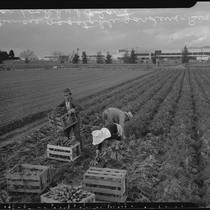 Japanese agricultural workers in Burbank, California