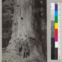 The 13-foot diameter at breast height (outside bark) tree at Hartsook, California. ...