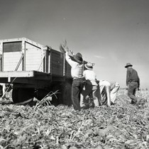 Five Mexican workers tossing sugar beets into a truck at Robert Barr's ...