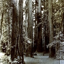 Cathedral Grove in Muir Woods, circa 1935 [postcard negative]