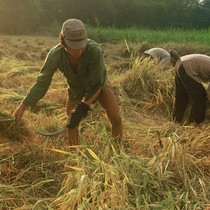 Harvesting rice near Long Xuyen in the Mekong Delta, An Giang Province
