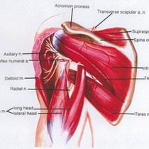 Illustration of the left shoulder, posterior view, showing nerves, arteries, muscles and ...