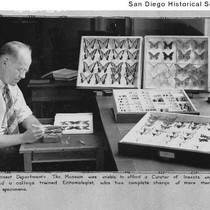 A man tending a butterfly collection in the Natural History Museum for ...