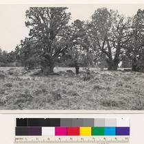 "1 mile northwest of Black Ridge Lookout. Sierra juniper, illustarting "" other ..."