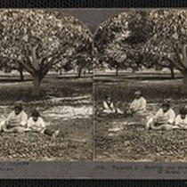 """(158) Walnuts 2. Shelling and picking walnuts by hand, El Monte, Calif."", ..."