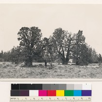 "1 mile northwest of Black Ridge Lookout. Sierra juniper, illustrating "" other ..."