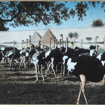 1975 Slide Show: Cultural Landmarks of South Pasadena: Cawston Ostrich Farm