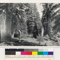 1 mile N of Tahoe Vista. Pine-Fir type of Pinus ponderosa jeffreyi, ...