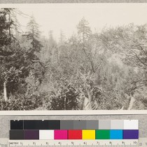 159259 Forest Service. Twenty-two year old stand of redwood sprouts with Douglas ...