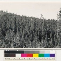 1 mile east of Duckwell Mt. Ponderosa pine type. Dense second growth ...