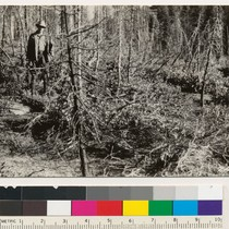 1 mile northwest of Harris Spring. A reproduction burn. Snow-brush and chiquapin ...