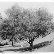 Acacia tree (acacia cyanophylla) on a grassy slope, ca.1920