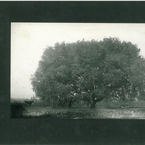 Large Tree in Arroyo