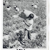 Child agricultural workers laboring to harvest a crop in the field