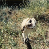 Barn owl raised in Topanga, California
