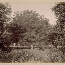 English Walnut Tree, on Farm of Geo. H. Maxwell