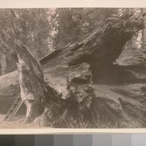 [Fallen giant redwood, unidentified location.]--[7839?]