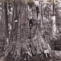 885. Big Tree--Wm. Cullen Bryant, 305 feet high, and 45 feet in ...