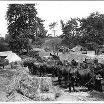 "About a dozen horses (""Hay burners"") used in road work, ca.1900"