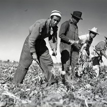 Four Mexican workers harvesting sugar beets