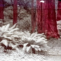 Ferns and redwood trees in Muir Woods, 1933 [postcard negative]