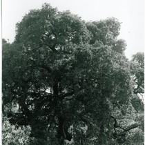 Ashbourne/Chelton Tree, CHC Landmark #12
